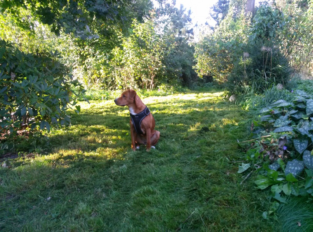 Der Hund begutachtet den frisch gemähten Rasen(teil)